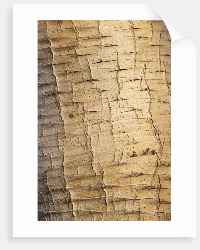 Domaine Du Rayol, France: Close Up Of The Trunk And Bark Of The Dragon Tree - Dracaena Draco - From The Canary Islands by Clive Nichols