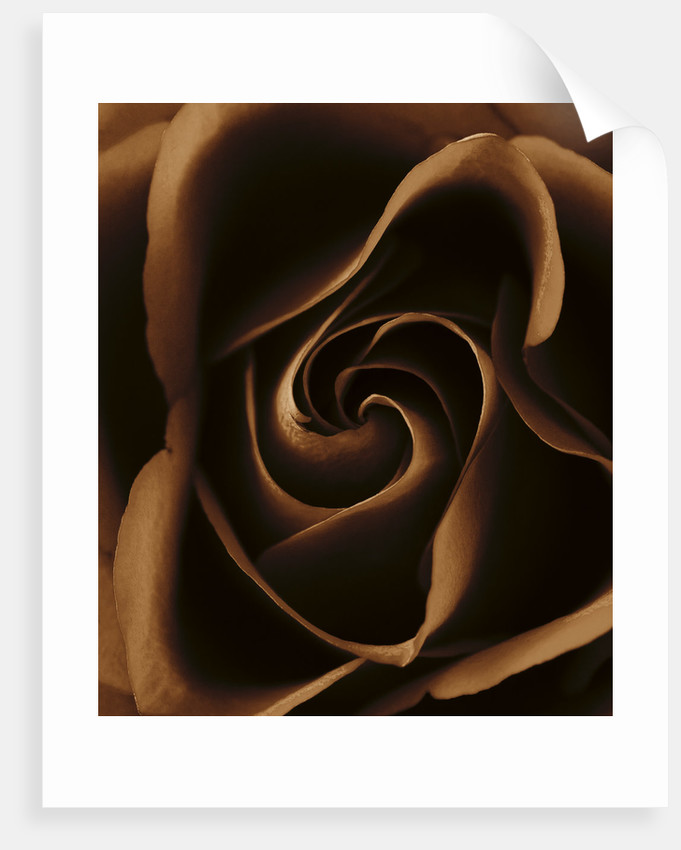 Black And White Sepia Tone Close Up Of Centre Of A Rose.rosa.abstract.pattern.nature. by Clive Nichols