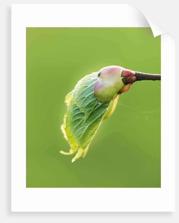 Emerging Leaf Of Horse Chestnut (aesculus Hippocastanum) Green, Fresh, Spring by Clive Nichols