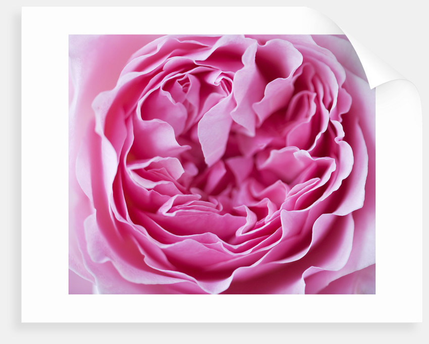 Close Up Of The Rose Pink Flower Of The David Austin Rose Miranda (ausimmon) by Clive Nichols
