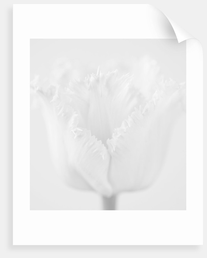 Black And White Close Up Image Of The Flower Of Tulip 'fancy Frills' by Clive Nichols