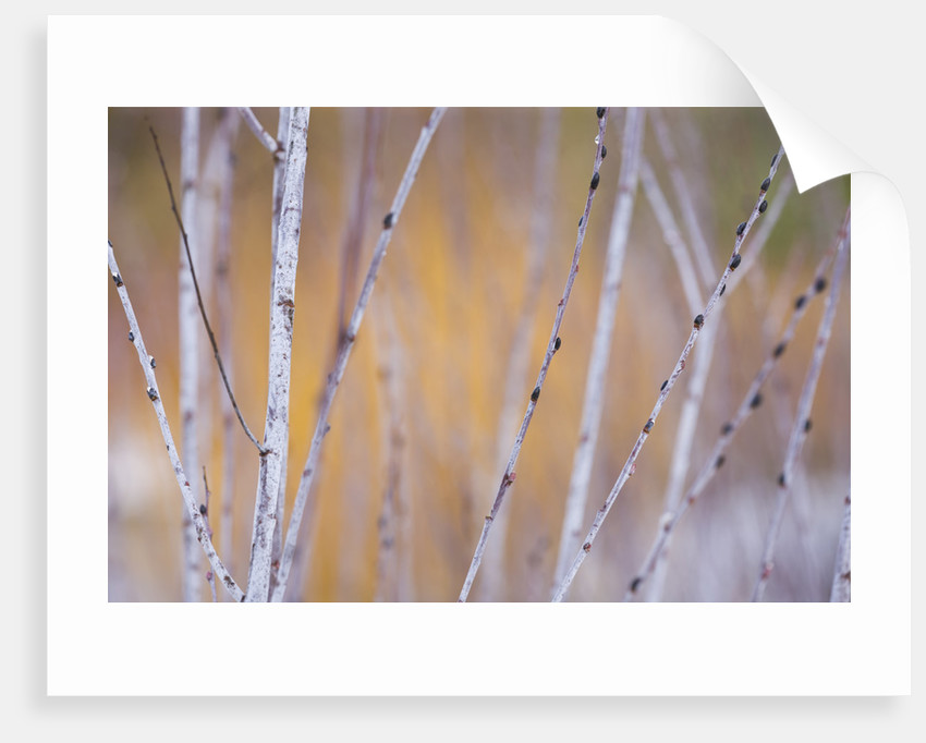 Rhs Garden, Wisley, Surrey - Close Up Of The White/silver Bark Of The Willow - Salix Irrorata by Clive Nichols