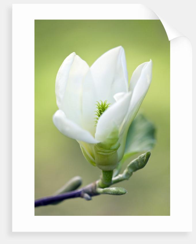 Tregothnan, Cornwall: Pale Yellow Flower Of Magniolia 'elizabeth' by Clive Nichols