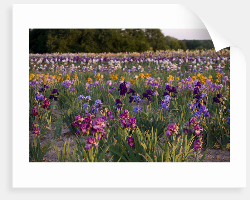 Iris Cayeux, France - Iris Fields by Clive Nichols