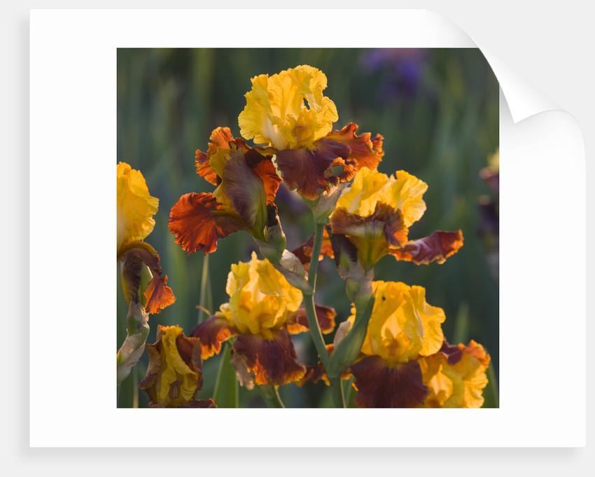 Iris Cayeux, France - Iris 'fiesta Time' by Clive Nichols