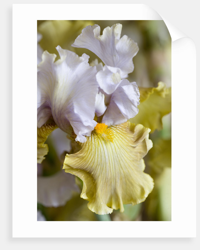 Iris Cayeux, France - A New Bearded Iris Not Yet Named by Clive Nichols