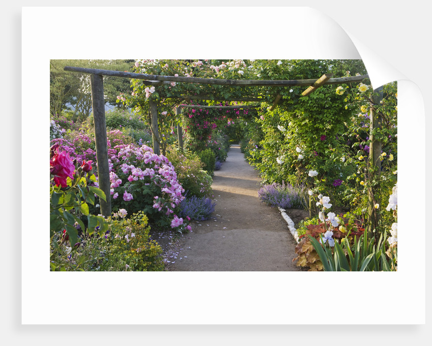 Andre Eve Rose Nursery, France: The Main Path Through The Nursery With Wooden Pergola And Roses. Rosa 'dentelle De Bruxelles' by Clive Nichols