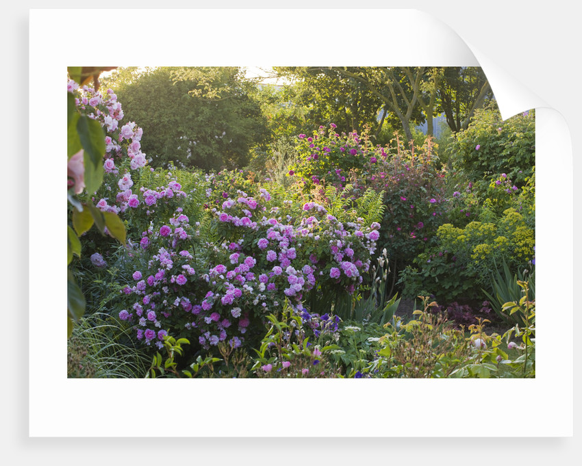 Andre Eve Rose Nursery, France: Dawn Light On Border With Rosa 'fritz Nobis' , Rosa 'soupert Et Notting', Rosa 'goethe' And Rosa 'lanei' by Clive Nichols