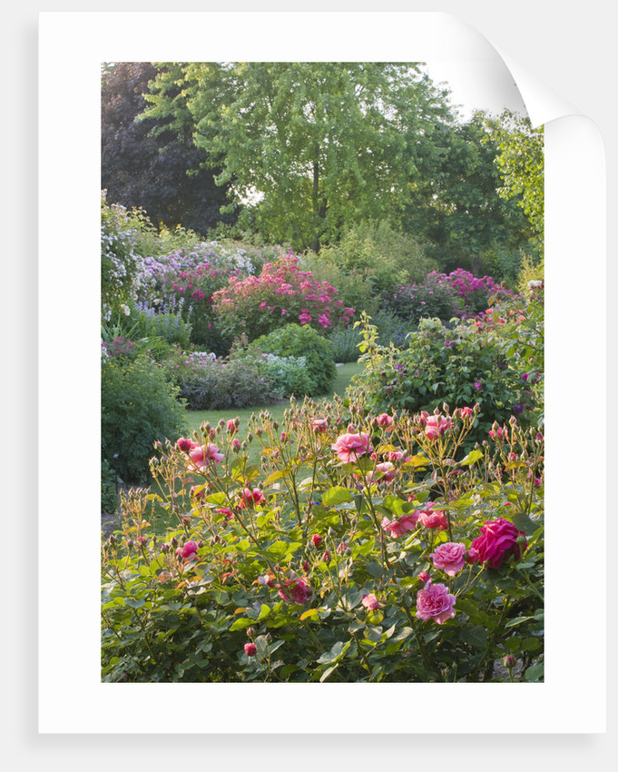 Andre Eve Rose Nursery, France: Early Morning Light On The Rose Garden by Clive Nichols