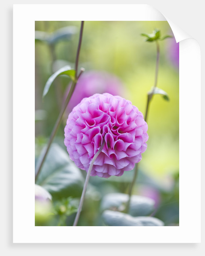 Rhs Garden, Wisley, Surrey: Close Up Of The Flower Of Dahlia 'pembroke Levenna' by Clive Nichols
