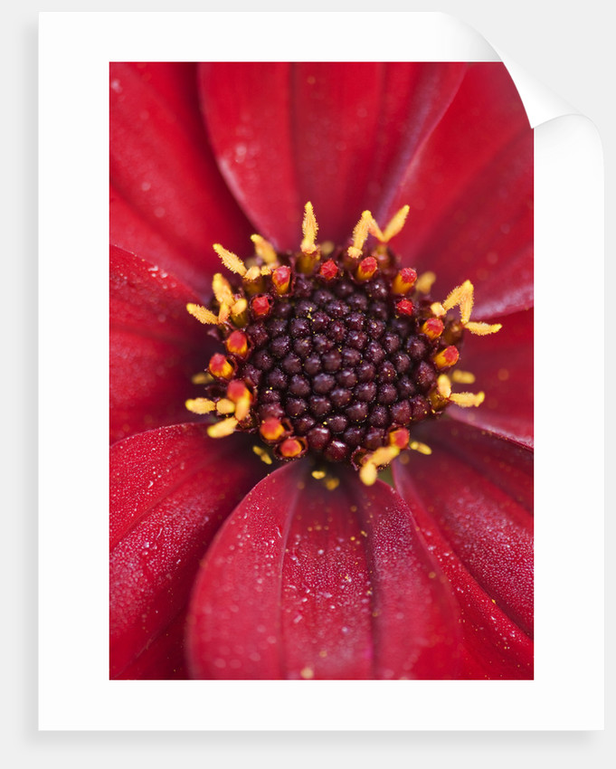 Ulting Wick, Essex - Dahlia 'bishop Of Auckland' by Clive Nichols