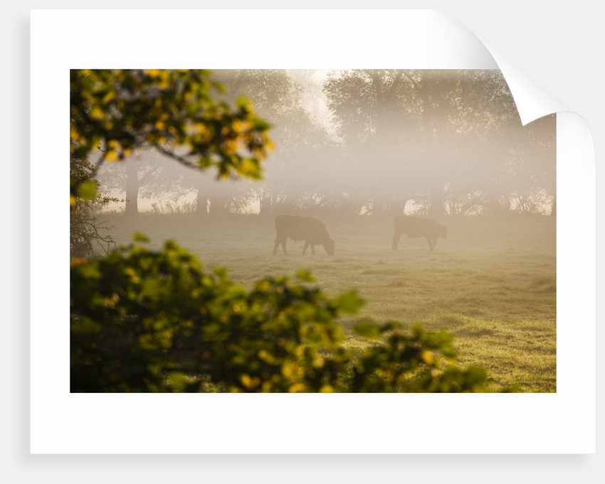 Waterperry Gardens, Oxfordshire: View In Autumn Across River Thame To Cattle, At Dawn by Clive Nichols