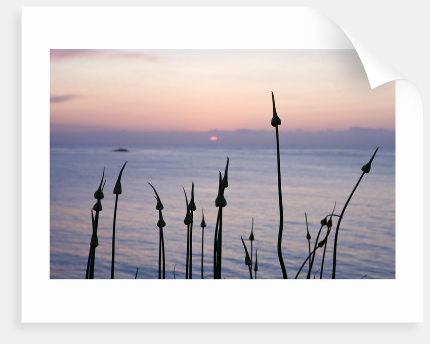 Herm Island, Channel Islands: Alliums At Dawn On The North Coast by Clive Nichols