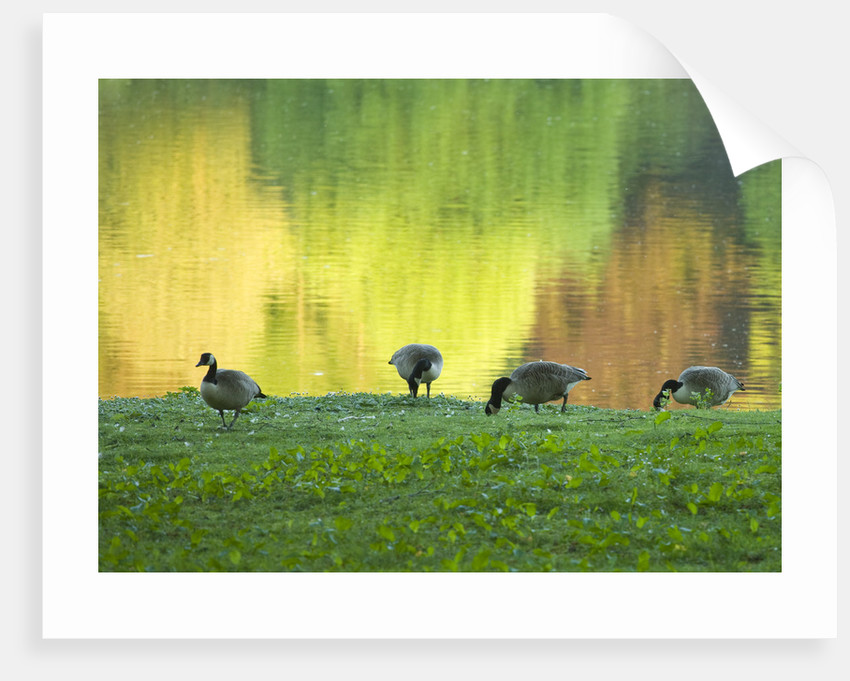 Stourhead Landscape Garden, Wiltshire: The National Trust. May 2012 - Canada Geese Feeding In Front Of The Lake With Trees Reflected by Clive Nichols