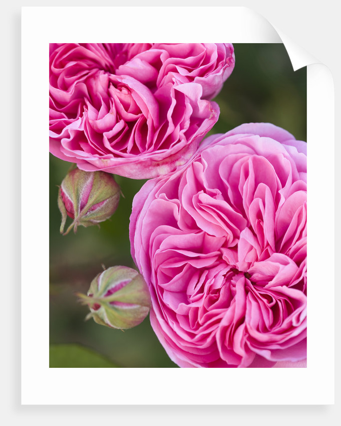 Ragley Hall Garden, Warwickshire: Close Up Of The Pink Rose - Rosa 'gertrude Jekyll' by Clive Nichols