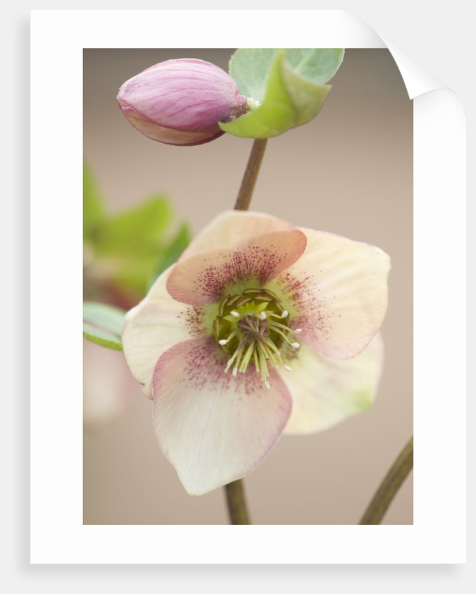 Little Ponton Hall, Lincolnshire: Close Up Of Helleborus 'apricot Blush' by Clive Nichols