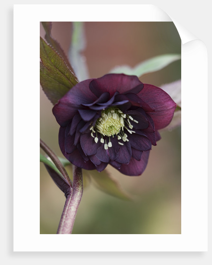 Little Ponton Hall, Lincolnshire: Close Up Of Helleborus 'onyx Odyssey' by Clive Nichols