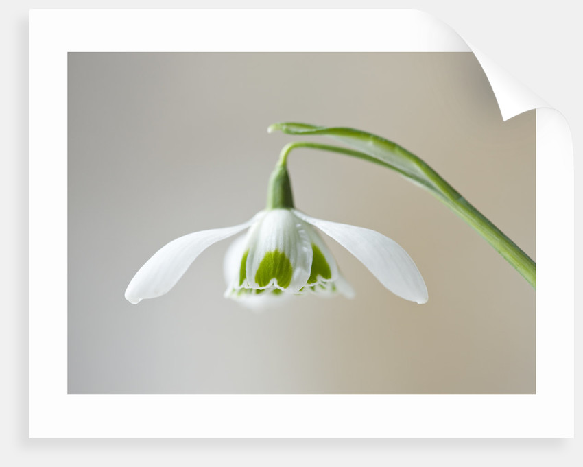 Cotswold Farm, Gloucestershire: Close Up Of Snowdrop - Galanthus Hippolyta by Clive Nichols