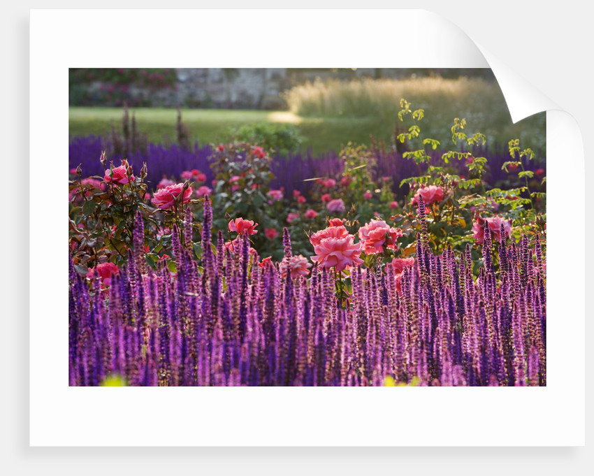 Ragley Hall, Warwickshire: Border In Front Of Hall In Rose Garden - Dawn Light On Salvia 'caradonna' And Rose 'braveheart' by Clive Nichols