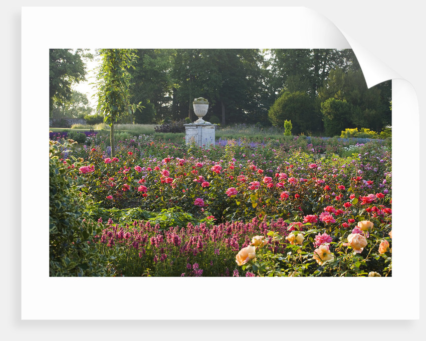 Ragley Hall, Warwickshire: Roses - David Austin Rose - Rosa 'braveheart' In The Rose Garden In Front Of The Hall by Clive Nichols