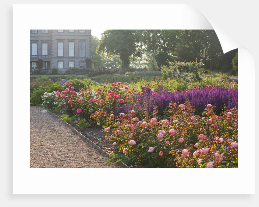 Ragley Hall, Warwickshire: Roses - David Austin Rose - Rosa 'lady Emma Hamilton' In The Rose Garden In Front Of The Hall - Behind Is Salvia 'caradonna' by Clive Nichols