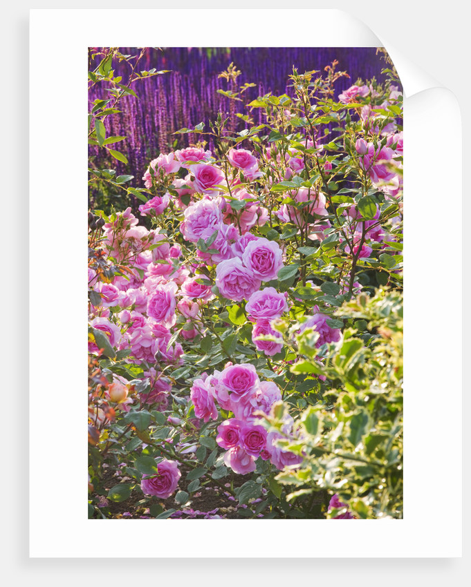 Ragley Hall, Warwickshire: Roses - David Austin Rose - Rosa 'cariad' In The Rose Garden In Front Of The Hall - Behind Is Salvia 'caradonna' by Clive Nichols