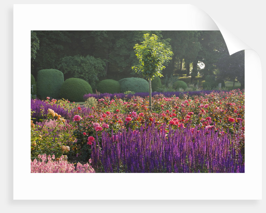 Ragley Hall, Warwickshire; Salvia Caradonna And The David Austin Rose - Rosa 'braveheart' , In The Rose Garden by Clive Nichols