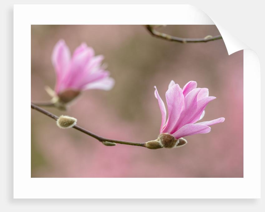 Magnolia x Loebneri leonard messel by Clive Nichols