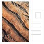 Bark Of Pinus Pinea (stone Pine) /new Shoots by Clive Nichols