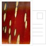 Bark Of Prunus Serrula by Clive Nichols