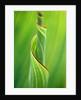 Close Up Of Canna Speciosa 'striata'/new Shoots by Clive Nichols