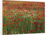 Poppy And Oxeye Daisy Meadow Planting - Oxfordshire by Clive Nichols