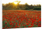 Sunset Over Poppy And Oxeye Daisy Meadow - Oxfordshire by Clive Nichols
