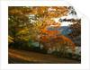Arley Arboretum, Worcestershire: Evening Light Shining On A Red Oak (quercus Rubra), A Chestnut Leafed Oak (quercus Castaneifolia) And Zelkova Serrata Keaki by Clive Nichols