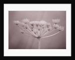 Sepia Tone Image Of Winter Seed Head Of Umbelliefr In Frost by Clive Nichols