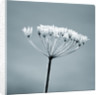 Duotone Image Of Winter Seed Head Of Umbellifer In Frost by Clive Nichols