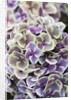 Hydrangea Macrophylla 'ramars Mars' by Clive Nichols