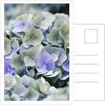 Hydrangea Macrophylla 'bela' by Clive Nichols