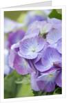 Designer Clare Matthews: Blue Hydrangea Flower by Clive Nichols