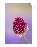 Kathy Taylors Garden, London: Close Up Of Allium Sphaerocephalon by Clive Nichols