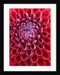 Close up of red dahlia 'Cornel' by Clive Nichols