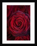 Red Rose. Close Up, Flower, Background, Dark by Clive Nichols