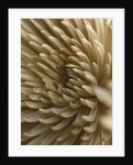 Faded Brown Chrysanthemum. Pastel, Close Up by Clive Nichols