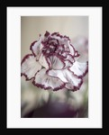 Close Up Of Faded Red And White Carnation by Clive Nichols
