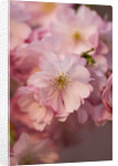 Spring Blossom Of Prunus Accolade. Cherry, Bloom, Pink, Fresh, Easter by Clive Nichols