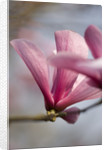 Magnolia Galaxy. Pink, Petals, Easter, Spring, Close Up, Tree, Deciduous by Clive Nichols