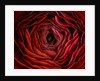 Close Up Of Dark Red Persian Ranunculus ( Ranunculus Asiaticus) Background, Abstract, Rich by Clive Nichols