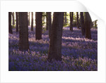 Bluebell Wood, Coton Manor Garden, Northamptonshire. Spring, Beauty In Nature, Idyllic, Light, Escapism, Enjoyment,freedom by Clive Nichols