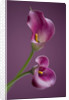 Close Up Of Two Pink Calla Lilies  (zantedeschia Sp) Against Pink Background by Clive Nichols