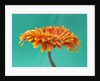 Close Up Of Brilliant Orange Gerbera Against Minty Blue Backdrop by Clive Nichols